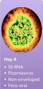 Hepatitis A virus characteristics