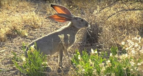 Another medium animals in the desert biome are the Jack rabbits, they are nocturnal (feeding mainly from sun-set to sunrise)