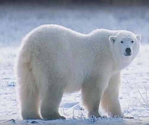 Polar bears live in the ice as well as other animals