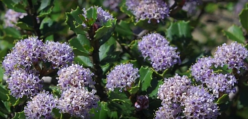 Ceanothus is a colourful plant found in the chaparral biome; it has tiny green leaves and needle-like materials that prevents other animals from feeding on It, this plant have the ability to withsatd drought even during during extreme condition