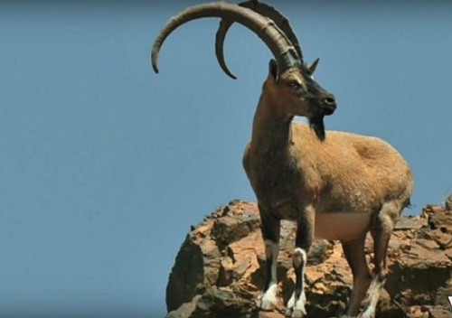 Numerous animals survive in chaparral biome including wild goats