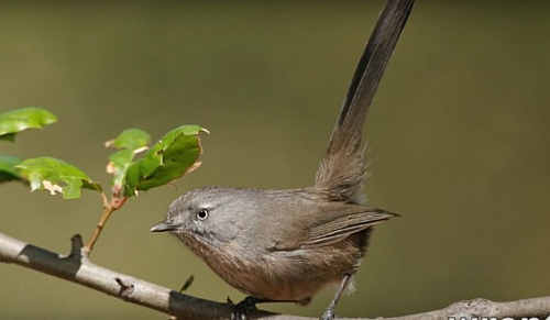 Wrentit is also dominant in chaparral biome