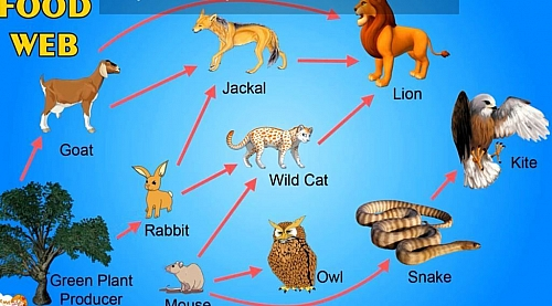 A simple food web diagram showing different alternatives for consumers in a food chain