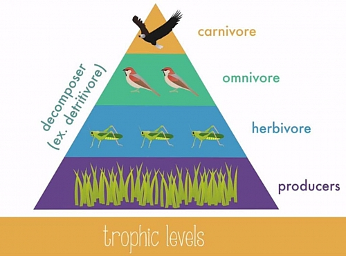 A diagram showing how energy is transfered within four trophic levels in a food chain