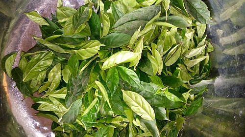Picture of fresh atama leaves