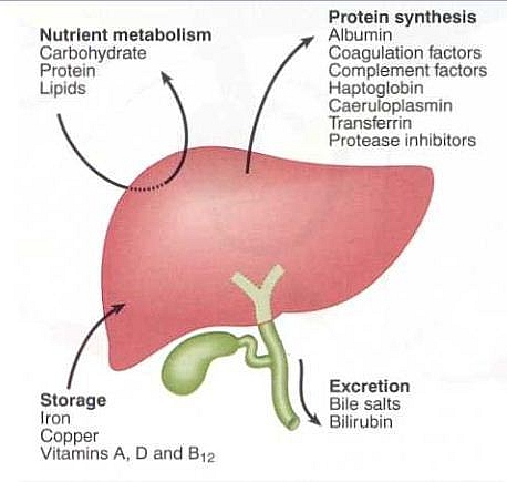 Main functions of the liver: Excretion of waste, Storage of vitamins and minerals and Metabolism of Carbohydrate, Fats and Proteins.
