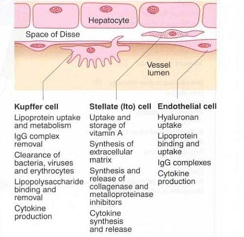 The non-parenchymal cells function of the liver