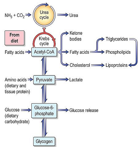 Function of the Liver: How the liver metabolize carbohydrate, fat and protein