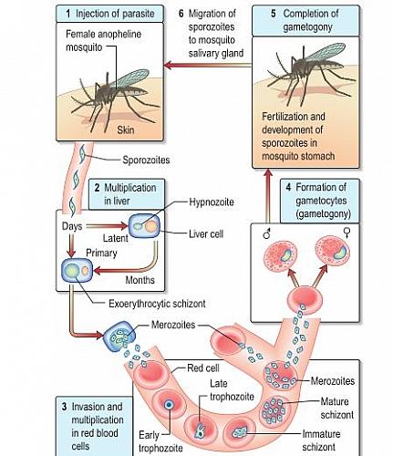 Malaria life cycle diagram showing that of plasmodium vivax