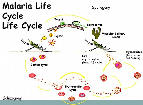 Simple diagram of Malaria life cycle