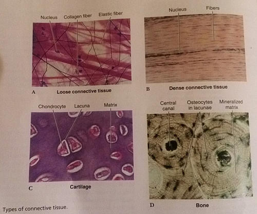 four main types of tissues in the body  definition