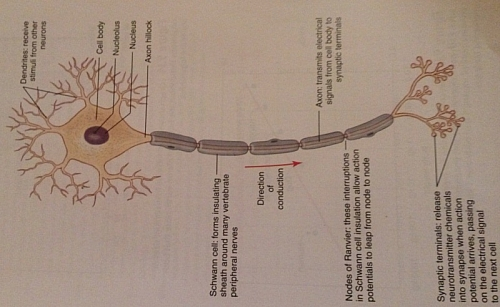 Picture of a Neuron, the basic unit of the Nervous tissue