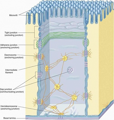 Types of intercellular junctions of epithelial tissue