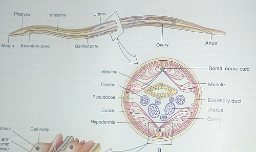 Labeled diagram of Female Ascaris worm showing various parts