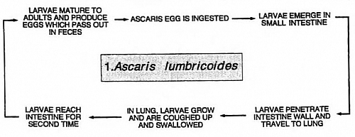 The life cycle of Ascaris worm