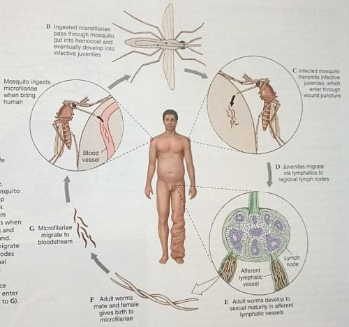 Life cycle of Wuchereria bancrofti