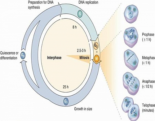 Labeled cell cycle diagram showing the different stages of cell cycle including the average time it takes for each phase of the cell cycle