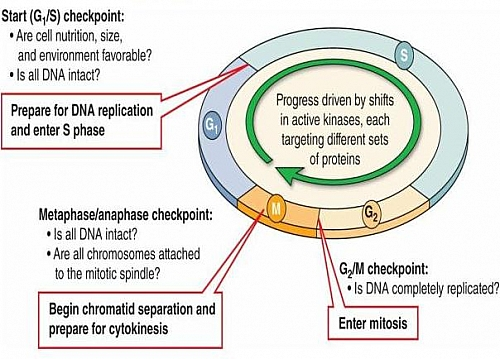 Cell cycle stages of cell cycle phases in order g1 s g2 m diagram showing the checkpoints of the cell cycle that help in regulation of the cell cycle ccuart Choice Image