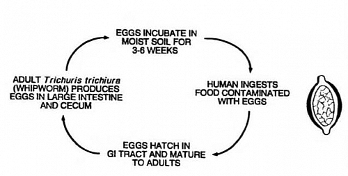 Whipworm life cycle