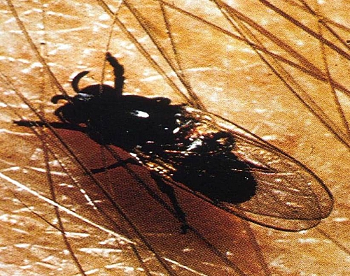 Black fly (Similium species): The Vector for transmission of Onchocerciasis
