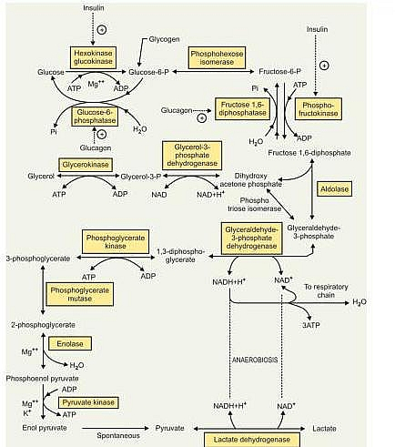 glycolysis pathway, glycolysis definition,glycolysis steps ... diagram of lily of the valley