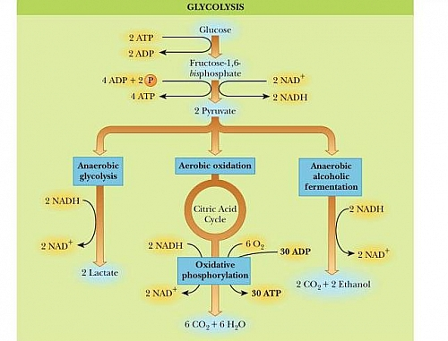 Glycolysis Pathway  Glycolysis Definition Glycolysis Steps