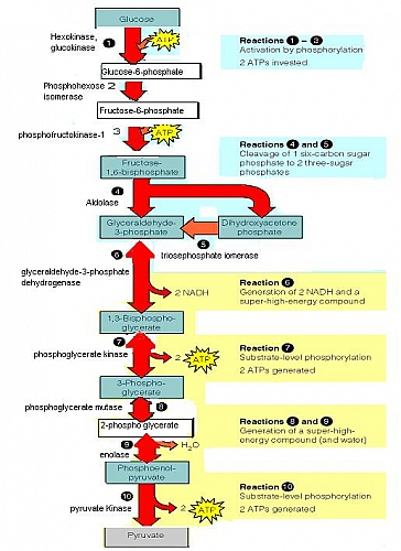 Glycolysis Pathway  Glycolysis Definition Glycolysis Steps  Cycle And Diagram