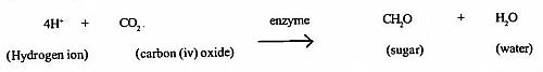 The Dark reaction of Photosynthesis (Light independent reaction of Photosynthesis or the Calvin Cycle