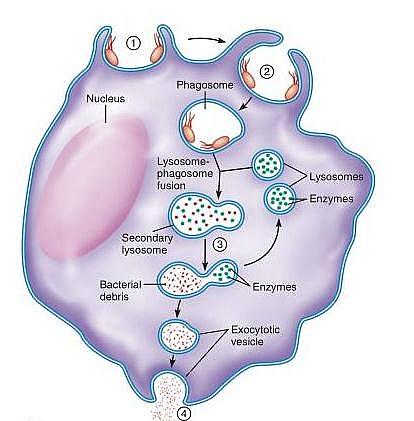 Lysosome diagram
