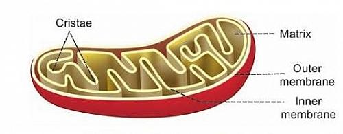 Mitochondria structure and diagram