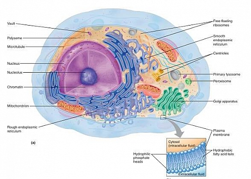 Diagram of a Cell showing the Cytoplasm and the Cytosol with organelles suspended in the Cytoplasm