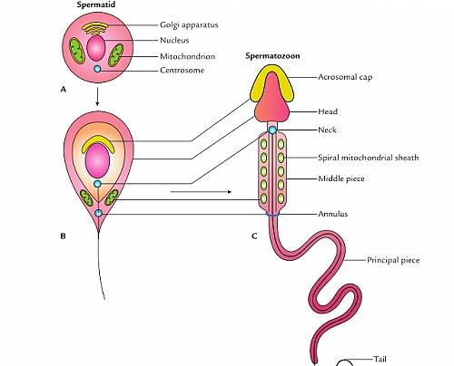 Spermiogenesis Process