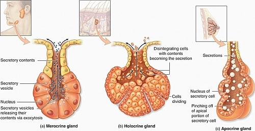 Mechanism of Exocrine glands secretion in the body