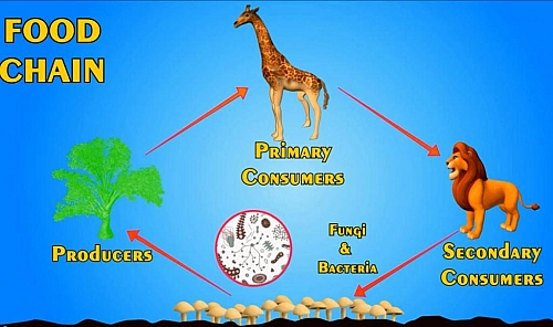 Photo of Food chain, Food Web, Definition and Energy Pyramid