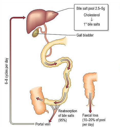 Photo of Main Liver Functions in Human digestive system: Functions of the Liver in the body