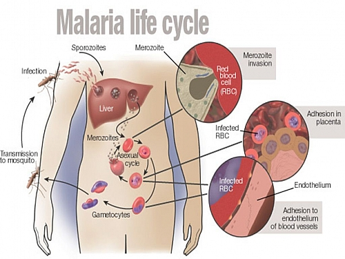 Photo of Malaria Life Cycle: Simple and Easy Life cycle of Plasmodium parasite with Diagrams