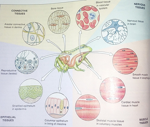 Photo of Four Main Types of Tissues in the Body: Definition, Functions and Examples of Tissues