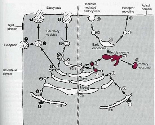 Photo of Lysosome Function, Definition, Location, Structure, Lysosomal Enzymes and Diagram