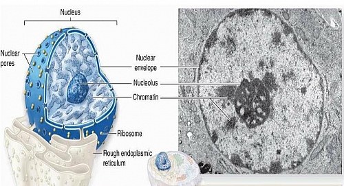 Photo of Nucleus Function, Definition, Cell Nucleus Structure and  Nucleus Diagram
