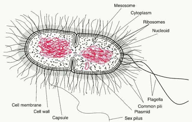 labeled structure of a bacterial cell showing the envelope and the nucleoid of bacteria cells