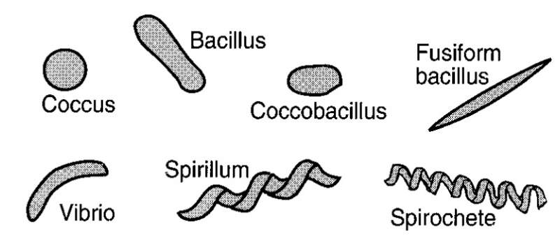 types of bacteria cells shapes