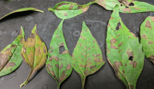 Vein- delimited discoloration on leaves caused by foliar nematodes