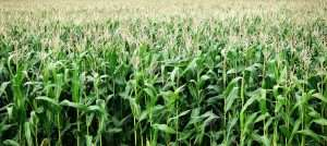 Vast field of corn