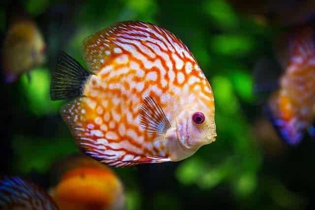 Discus fish in its Aquatic Habitat