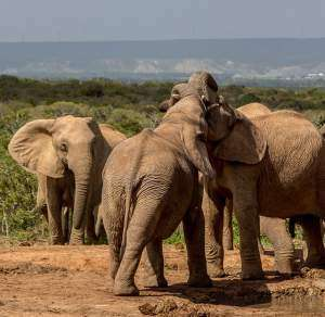 A herd of elephants in their habitat. elephants are typical example of terrestrial animals