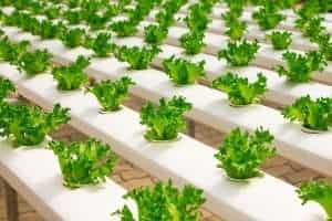 Applied agronomy: row covers and hydroponics for crops in greenhouse