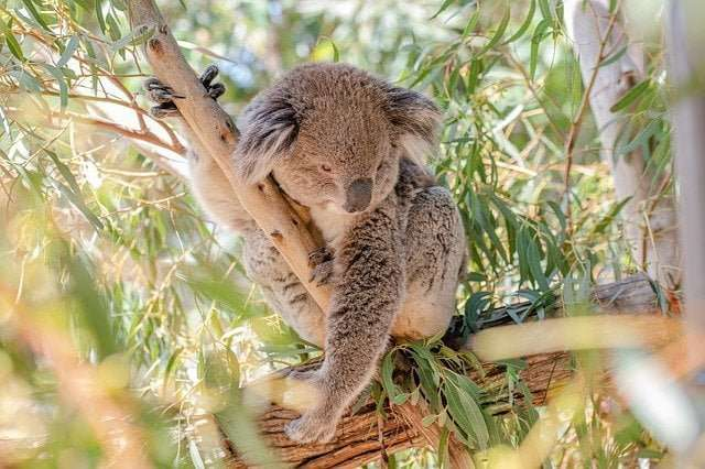 A koala on a tree