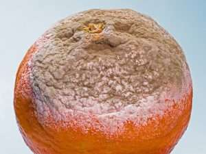 Decay or decomposition of an orange from the ecosystem with mold