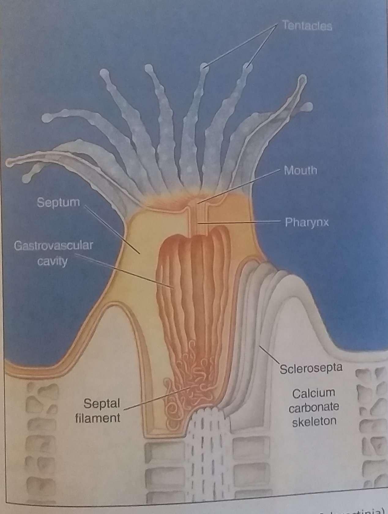 Polyp of a hexacorallian coral( order Scleractinia)