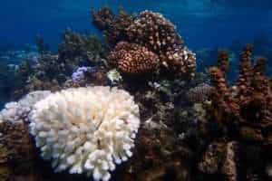 A bleached elkhorn coral stands out among the healthy coral and turbinaria seaweed